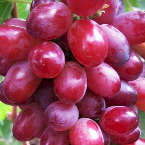 Виноград Кишмиш Красный - фото, описание,цена, купить саженцы