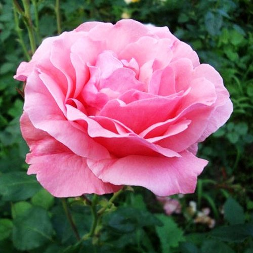 History amp Meaning of Pink Roses a ShadebyShade Guide
