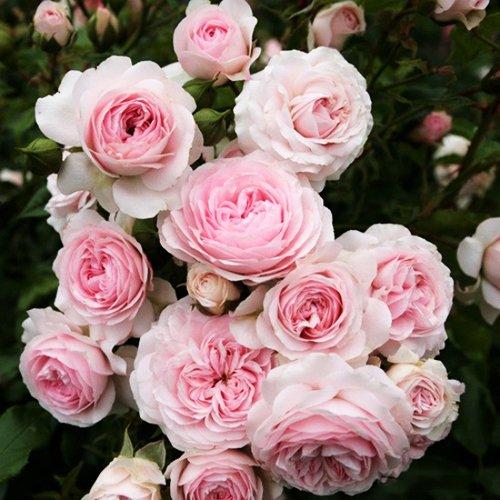 Где купить шраб розы заказать свадебный букет в курске