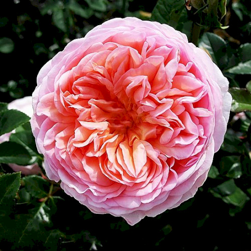 Английские розы фото отзывы Купить саженцы английских роз