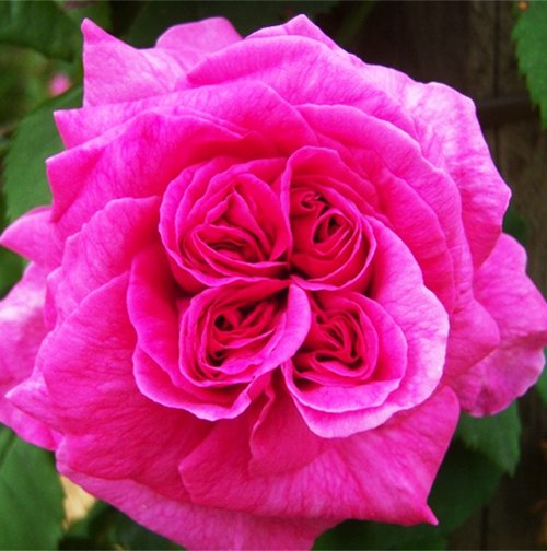 Купить парковые розы в интернет магазине купить букет из 101 розы дешево с доставкой в москве