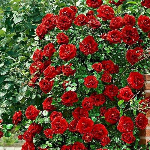 роза дон жуан описание и фото