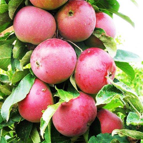 медок яблоня колоновидная фото
