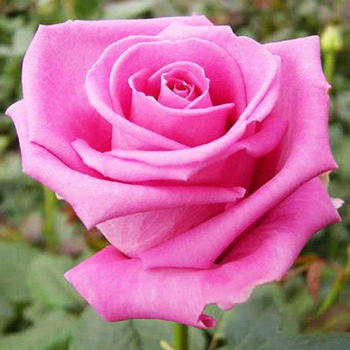 Чайно-гибридные розы купить в интернет-магазине где купить цветы в липецке ночью