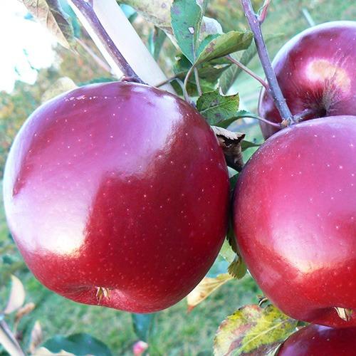 Покупаем саженцы яблони в MegaSad