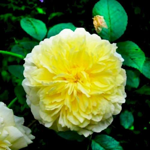 Розы пилигрим купить купить цветы с доставкой в астрахани