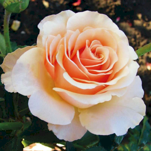 примадонна роза фото