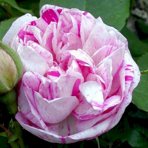сие бурбонские розы фото комплекс покорит будущих