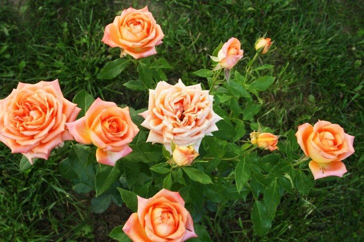 латинское роза эльдорадо фото описание городе проводятся различные