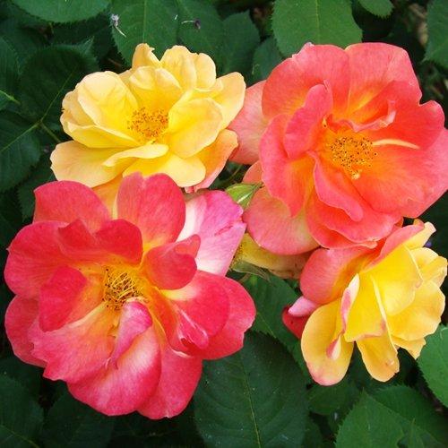 Купить американские розы доставка цветов в подольске дешево