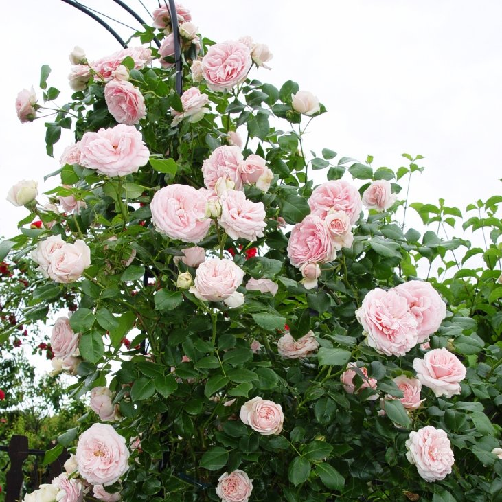 Где купить плетистые розы в воронеже ростов на дону, доставка цветов
