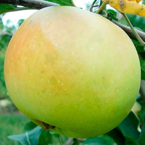 яблоня пепинка описание фото